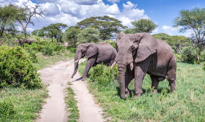 Elefantenherde überquert Straße im Lake Manyara National Park