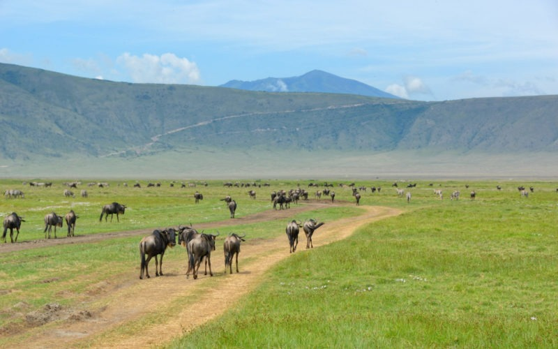 Gnus und Zebras im Ngorongoro Krater in Tansania