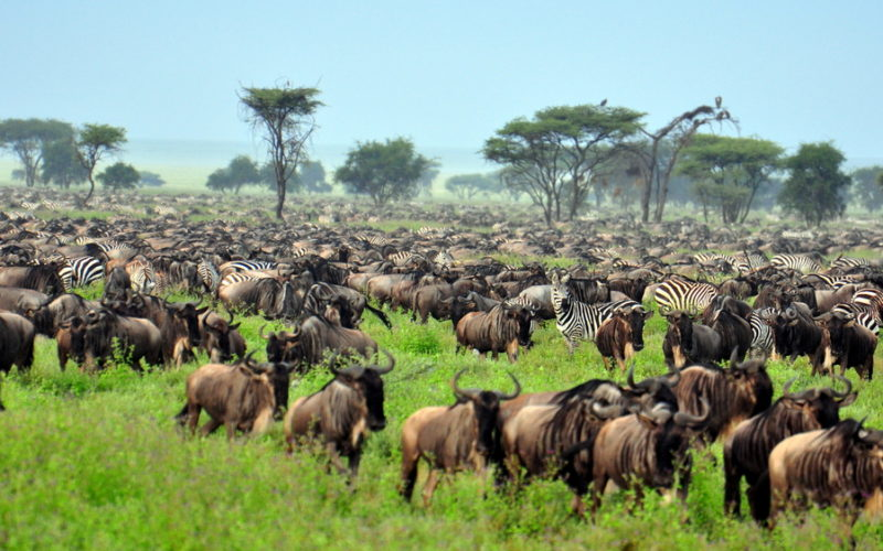 Große Gruppen Zebras und Gnus während der großen Tierwanderung in der Serengeti