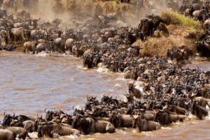 Tausende von Gnus überqueren Fluss in Tansania