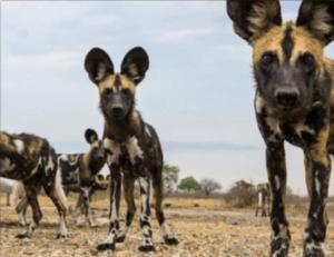 Wilde honden zie je tijdens je Selous safari