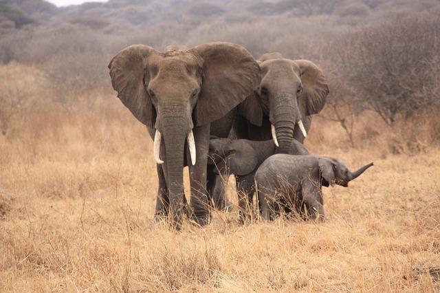 Elefanten im Ruaha Nationalpark in Tansania