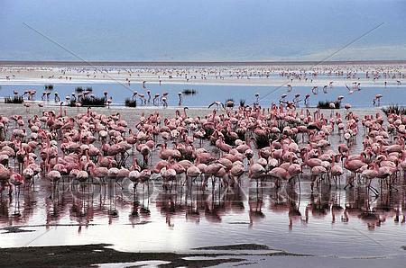 Lake Eyasi flamingo